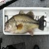 11/22(金)神奈川県相模湖にてHP3Dワッキー5″で50cm、43cm、42cmのビッグフィッシュがキャッチされました!!