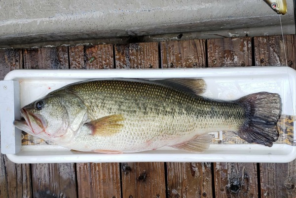 1/16(木)神奈川県相模湖にてオーバーライド1/4ozで54.5cmのビッグフィッシュがキャッチされました!!
