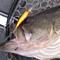去る3/15(日)、O.S.Pプロスタッフ三宅貴浩の琵琶湖ガイド中に、ハイカットDR-SPにて60.6cmがキャッチされました!!