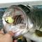 6/26(金)神奈川県津久井湖にて、ラトリンブリッツMAXで58cm3,320gがキャッチされました!!