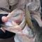 去る12/8(月)、O.S.Pプロスタッフ三宅貴浩の琵琶湖ガイド中に、ゲストの横井様がドライブシャッド4.5インチにて60,2cmをキャッチされました!!
